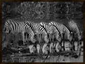 Zebras Reflection