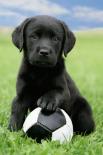 Dog - Labrador Football