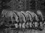 Zebras Reflection