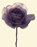 Transparent Rose I