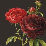 Classic rose - Anne Waltz