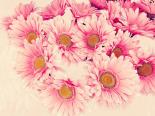 Pink Daisies II