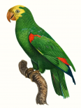 Parrot of the Tropics III