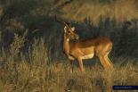 Planet Earth - Antelope