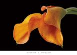 Double Orange Calla