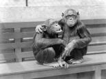 At the zoo, Chimpanzees