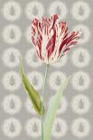 Keizer tulp  - Anne Waltz