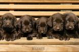 Keith Kimberlin - chocolate labradors