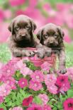 Keith Kimberlin - labrador flowers