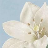 White amaryllis II - Wood Linda