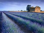 Stone Barn in Lavender Field