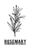 Rosemary herbs  - Anne Waltz