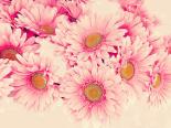 Pink Daisies I