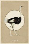 Ostrich - Anne Waltz