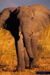Planet Earth - Elephant