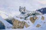 White Siberian Tiger