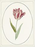 Tulipa V - Anne Waltz