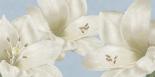 White Amaryllis III - Linda Wood