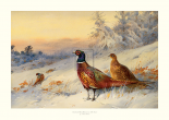 Cock & Hen Pheasant In The Snow