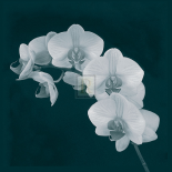 Orchid Illusion II