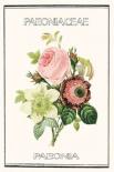 Paeno rose - Anne Waltz