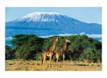Girafes, Mont Kilimandjaro