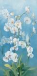 Phalaenopsis Fontaine II