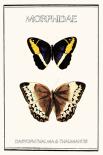 Morphidae - Anne Waltz