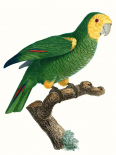 Parrot of the Tropics IV