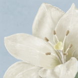 White Amaryllis II