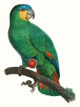 Parrot of the Tropics I