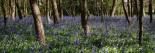 Bluebell Wood lI
