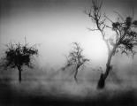 Baume im Nebel II
