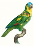 Parrot of the Tropics II