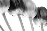 Tulips Array ll