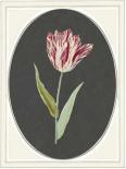 Kaiser Tulip - Anne Waltz