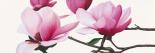 Apollo I (magnolia)