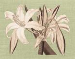 Regence Lily IV