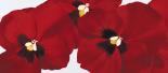 Red I (pansies)