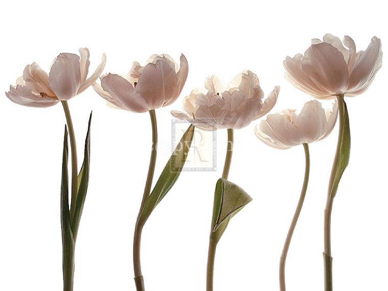 Aprile Tulipano