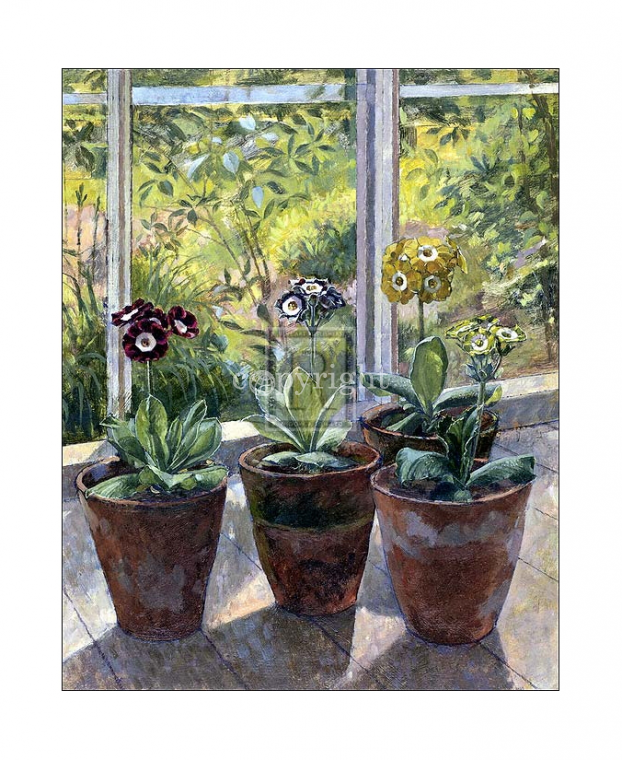 Four Pots of Auriculas